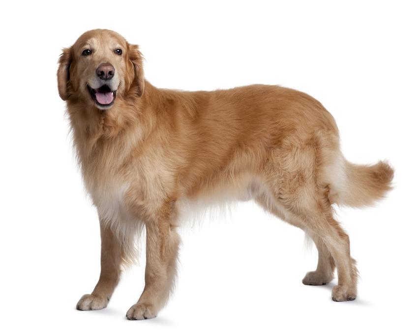 Pies rasy hovawart na białym tle oraz hodowla hovawart i cena za szczeniaki