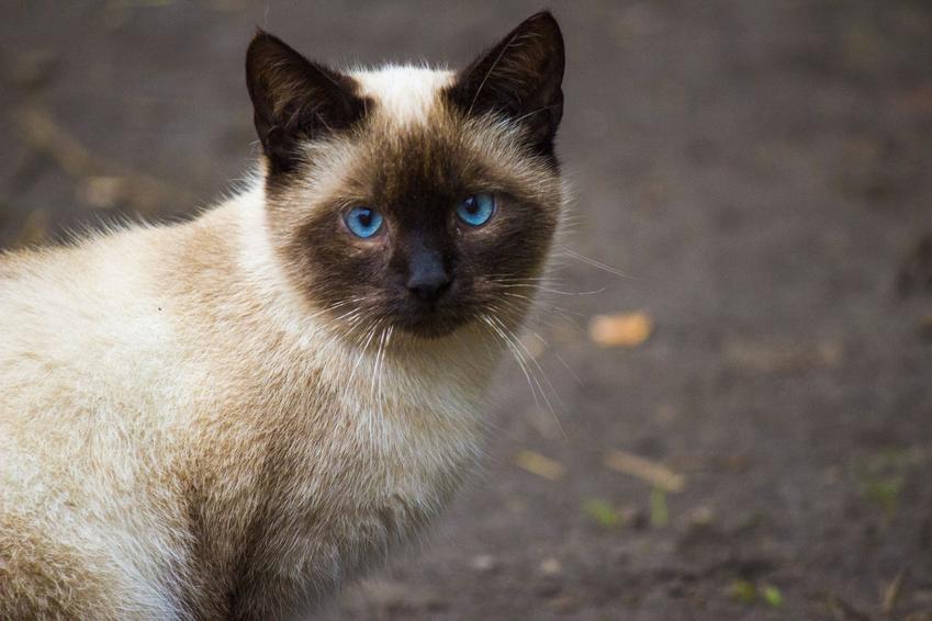 Kot syjamski podczas spaceru, a także jego charakter, hodowla i cena