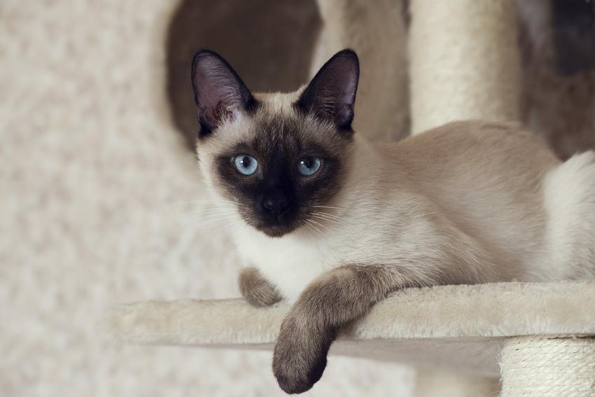 Kot syjamski leżący na drapaku, a także charakter i usposobienie kota syjamskiego