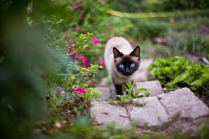 Kot syjamski spacerujący w ogrodzie, a także cena kota syjamskiego
