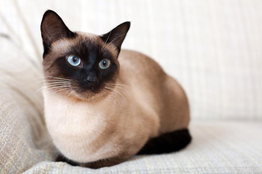 Kot syjamski leżący na jasnej sofie oraz cena kota syjamskiego