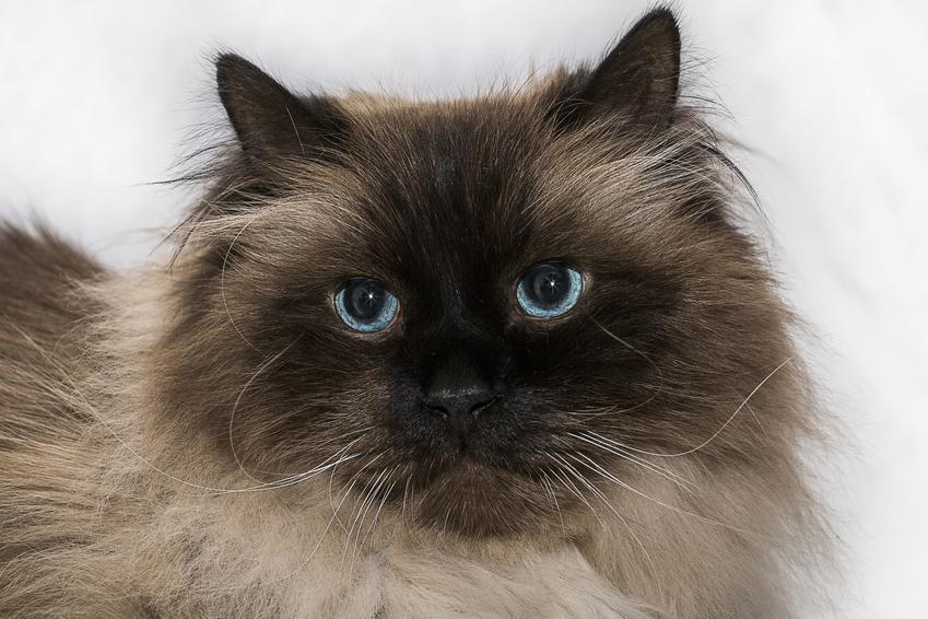 Leżący kot syjamski długowłosy, a także jego hodowla, cena i charakter