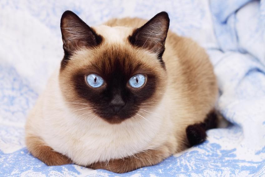 Kot syjamski leżący na łóżku, a także kot syjamski długowłosy i jego charakter
