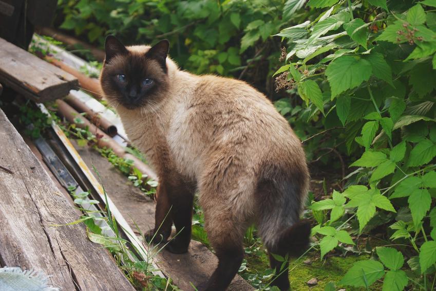 Kot syjamski na świeżym powietrzu, a także opis i charakter kota syjamskiego