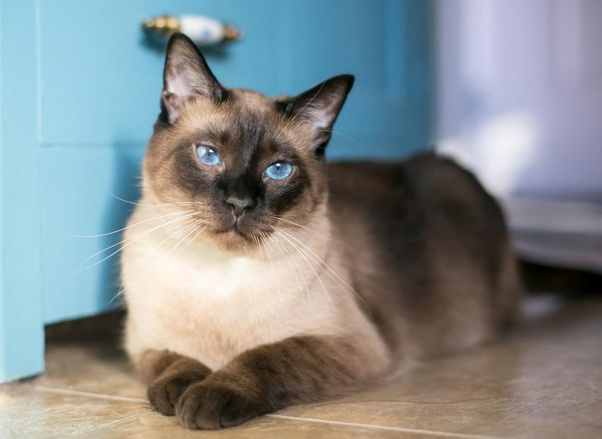 Kot syjamski leżący na podłodze oraz charakter kota syjamskiego i hodowla