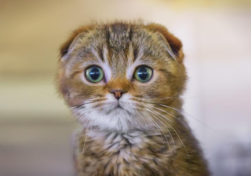 Kot szkocki zwisłouchy na zdjęciu portetowym oraz jego charakter i usposobienie