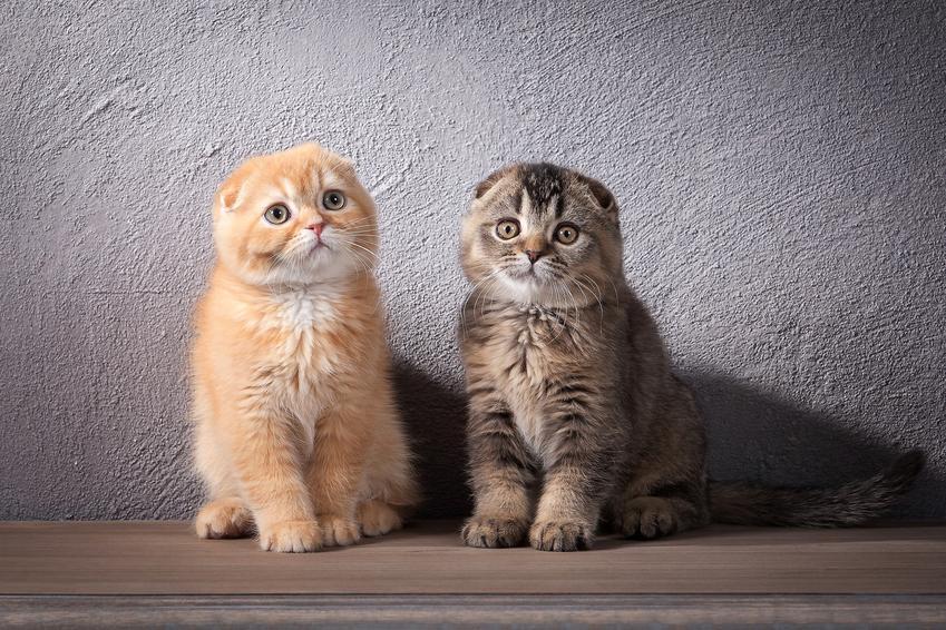 Dwa małe koty na szarym tle, a także kot szkocki zwisłouchy i jego charakter
