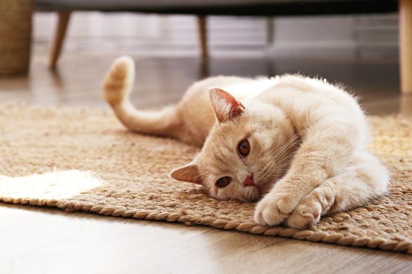 Kot szkocki prostouchy leżący na dywanie, a także jego charakter i hodowla