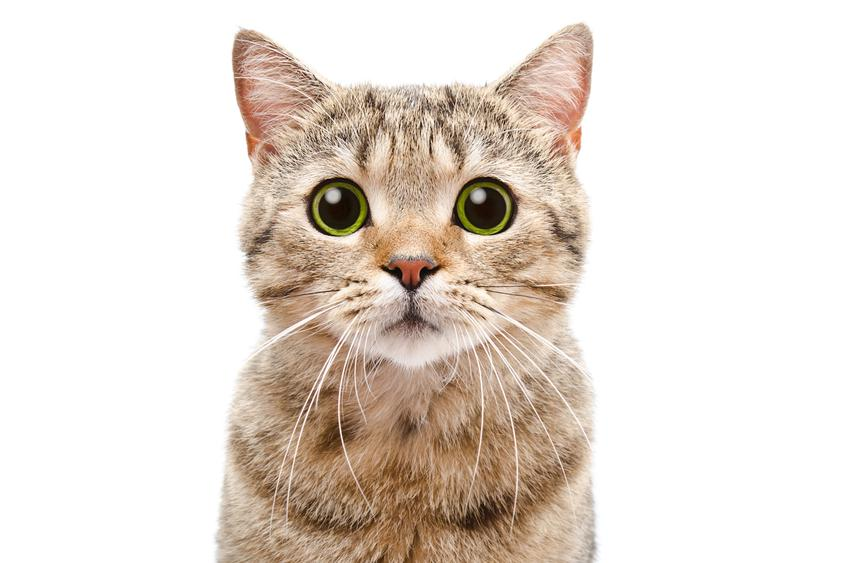Kot szkocki prostouchy na białym tle oraz jego usposobienie, opis i cena
