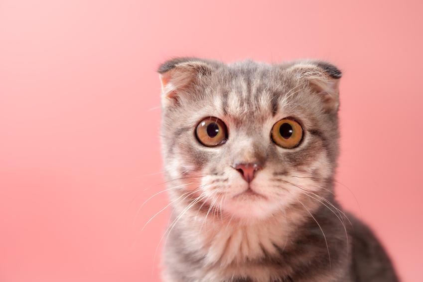 Kot szkocki zwisłouchy na różowym tle, czyli kot z oklapniętymi uszami krok po kroku