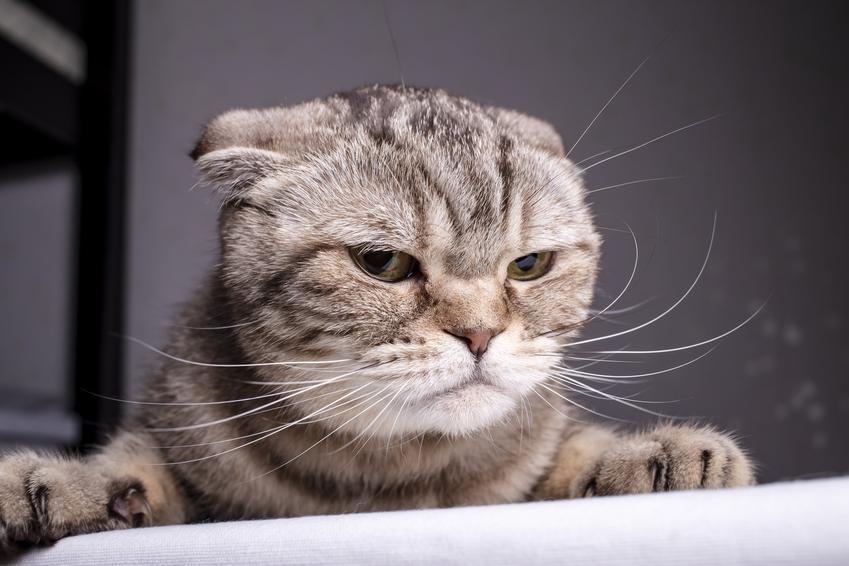 Kot szkocki zwisłouchy na szarym tle, czyli kot z oklapniętymi uszami krok po kroku