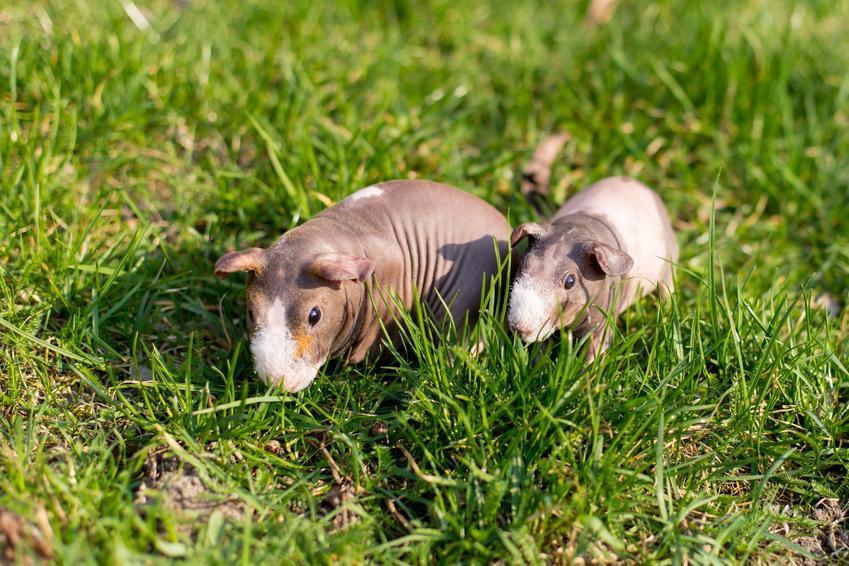 Świnka morska bez sierści w trawie, a także świnka morska skinny i jej opis