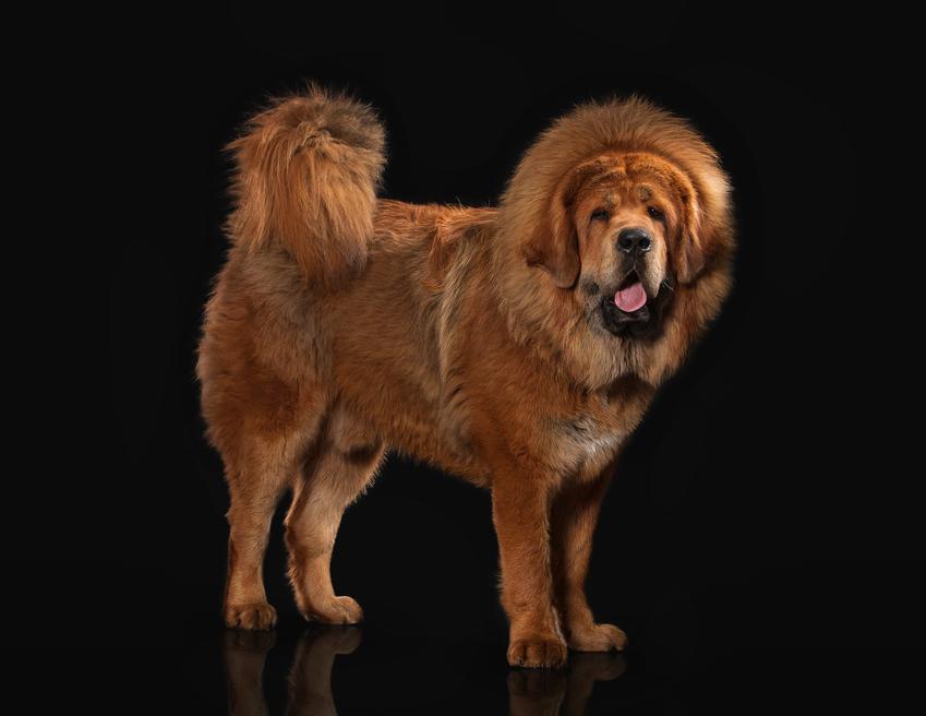 Pies rasy mastif tybetański na czarnym tle, a także jego charakter i opinie
