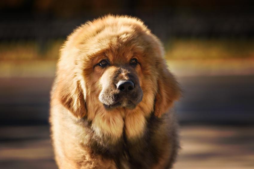 Pies rasy mastif tybetański podczas spaceru, a także jego hodowla i cena