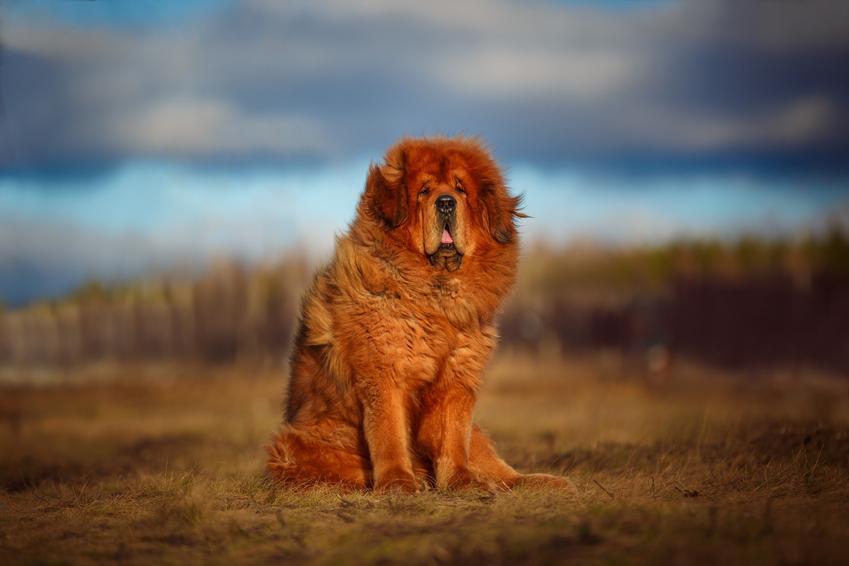 Pies rasy mastif tybetański na tle natury, a także jego charakter i cena