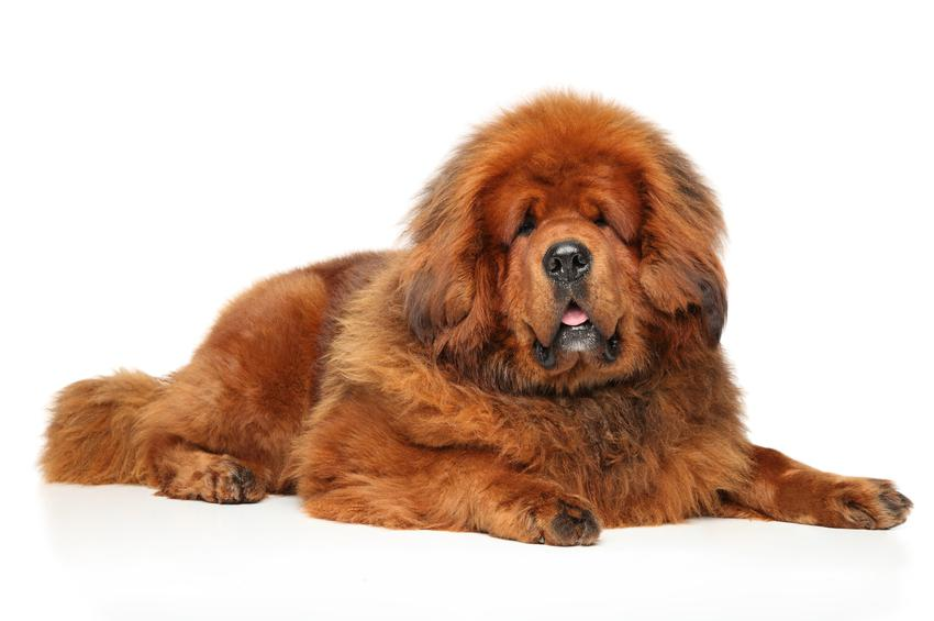 Pies rasy mastif tybetański na białym tle, a także cena mastifa tybetańskiego z rodowodem
