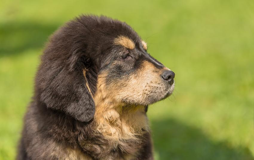 Pies rasy mastif tybetański na tle zieleni oraz cena mastifa tybetańskiego