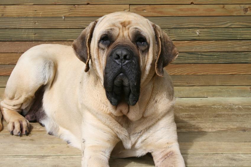 Pies rasy mastif angielski siedzący przed domem, a także charakter i cena