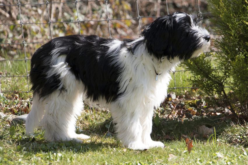 Pies rasy polski owczarek nizinny na tle zieleni, a także jego hodowla i cena