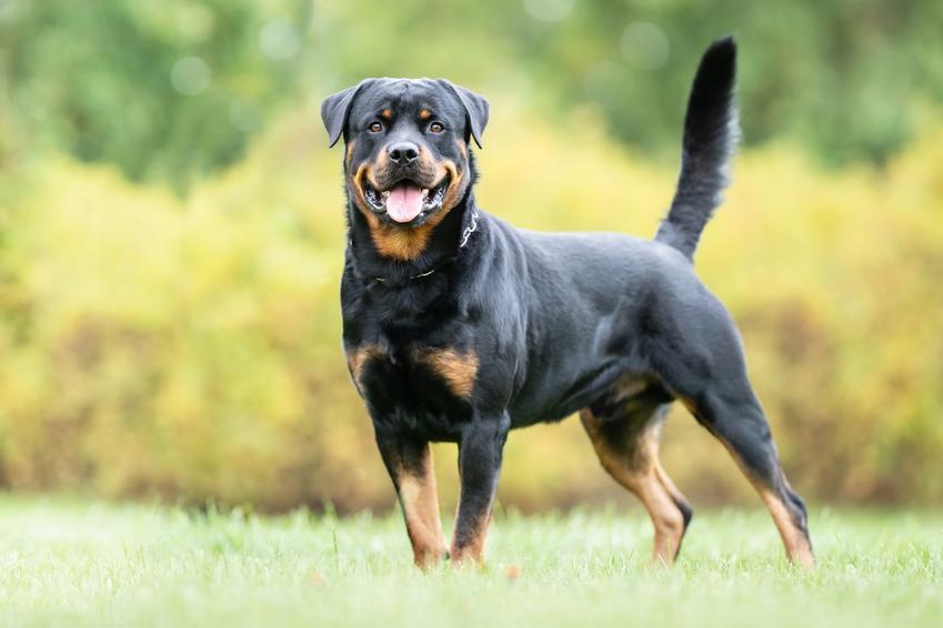 Pies rasy rottweiler na tle zieleni, a także jego usposobienie, cena i opis