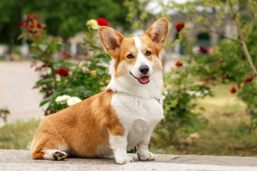 Pies rasy welsh corgi pembroke na tle zieleni oraz jego charakter i usposobienie