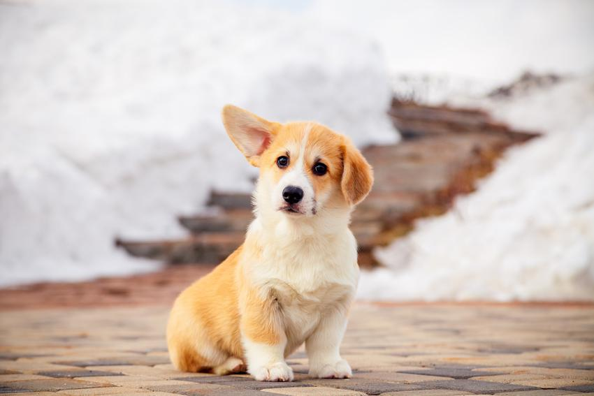 Szczeniak psa rasy welsh corgi pembroke oraz jaka jest cena welsh corgi pembroke