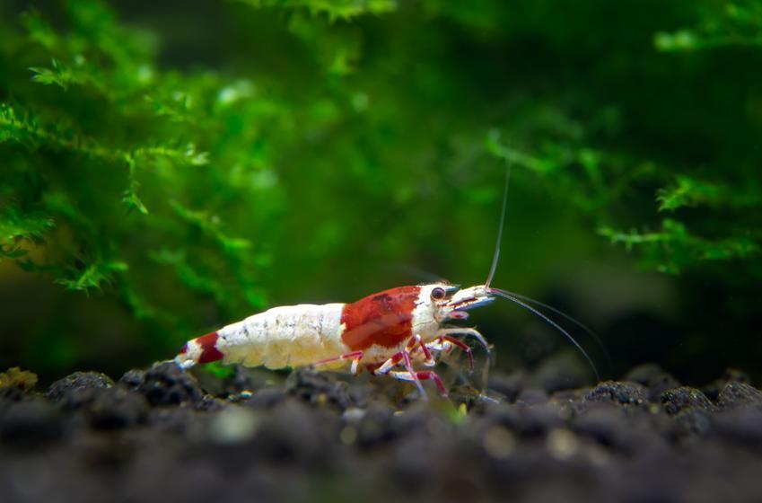 Krewetka w akwarium na tle roślin, a także krewetki akwariowe i ich hodowla