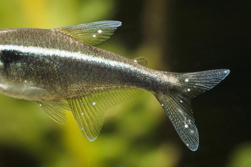 Rybka w akwarium z plamami na ciele, a także najczęstsze choroby ryb akwariowych