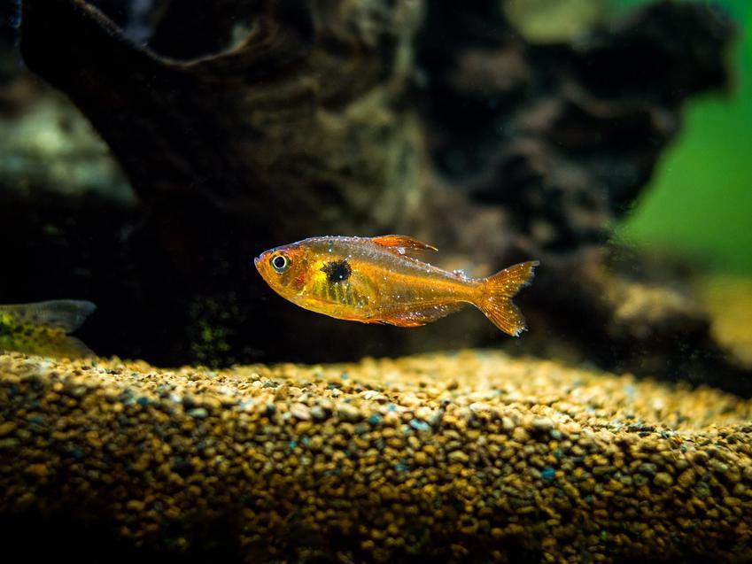Rybka pływająca w akwarium z widoczną chorobą oaz najczęstsze choroby ryb akwariowych