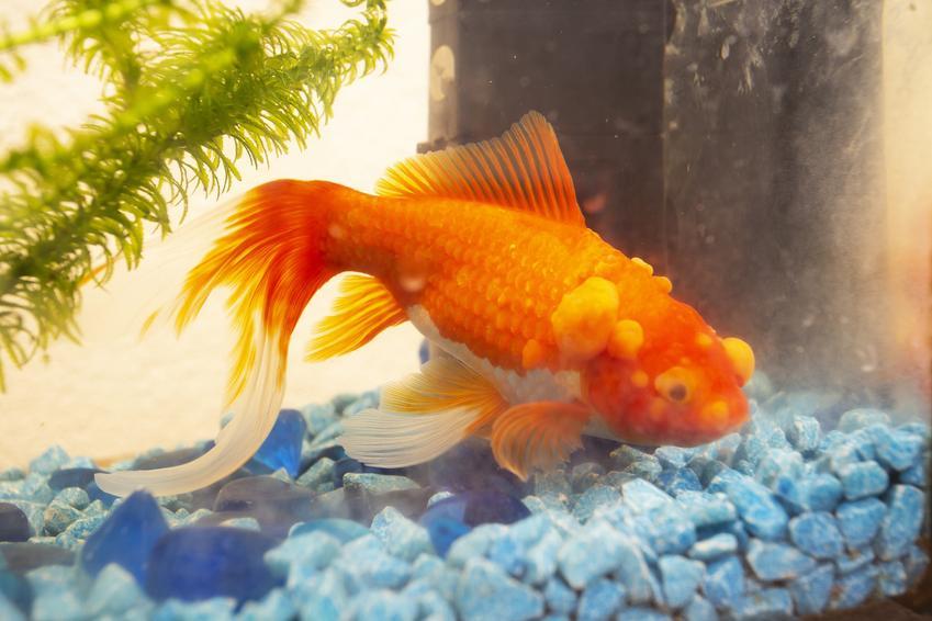 Pomarańczowa rybka w akwarium, a także najczęstsze choroby ryb akwariowych