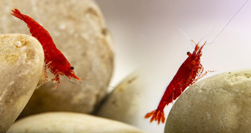 Małe czerwone krewetki red cherry w akwarium, a także porady jak hodować