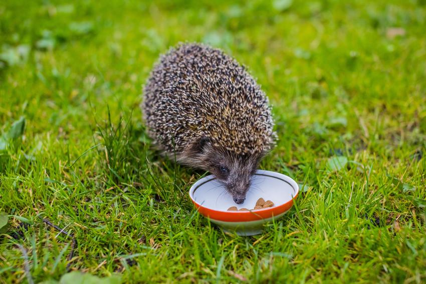 Jeż jedzący z miseczki, czyli jeże polskie i informacje, co jedzą jeże