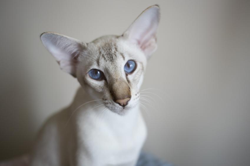 Orientalny kot na szarym tle, a także koty dla alergików bez sierści lub z włosami