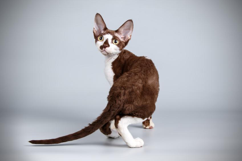 Kot bez sierści na szarym tle, a także polecane koty dla alergików z włosami