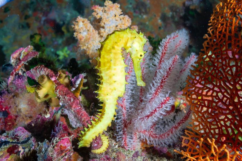 Żółty pławikonik w akwarium, a także konik wodny i jego rozmnażanie