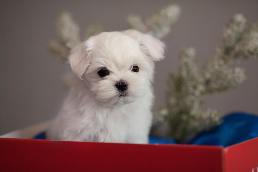 Pies rasy maltańczyk siedzący w pudełku oraz szczeniak maltańczyka i jego cena
