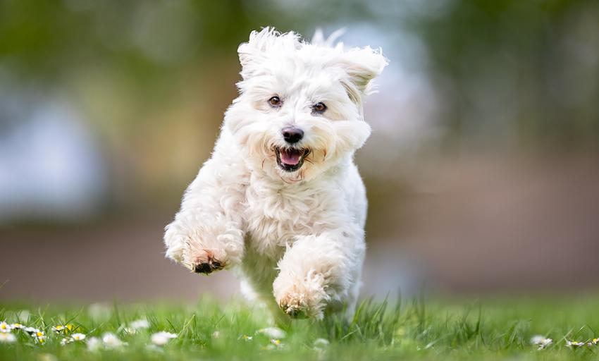 Pies rasy maltańczyk biegający po trawniku, a także szczeniak maltańczyka i jego wychowanie