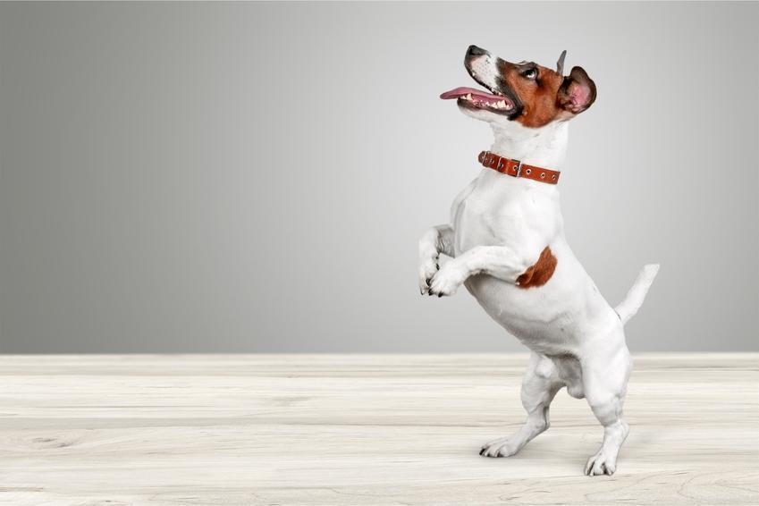 Mały pies stojący na tylnych łapach w domu, a także fajne i oryginalne imiona dla psów