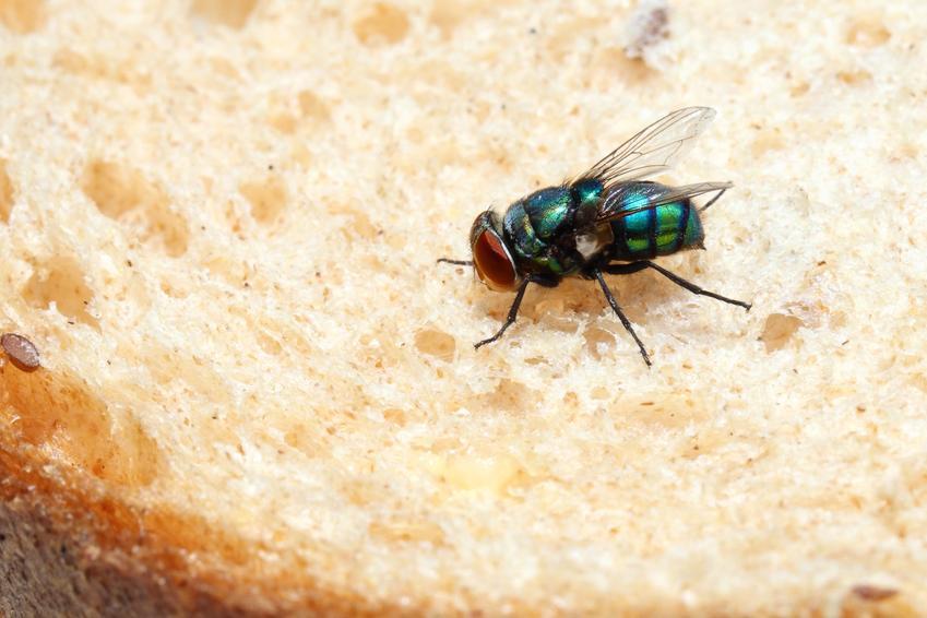 Mucha siedząca na kawałku chleba, a także informacje, ile żyje mucha domowa