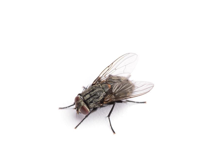Mucha na białym tle, a także odpowiedź na pytanie, ile żyje mucha domowa i larwy