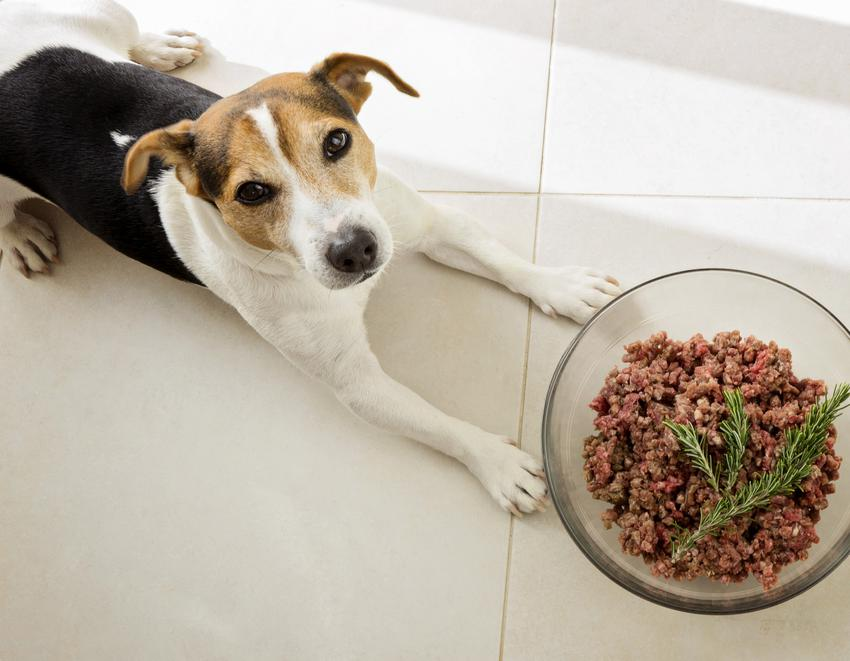 Pies leżący przed miską pełną mięsa, czyli dieta barf dla psa i jej założenia