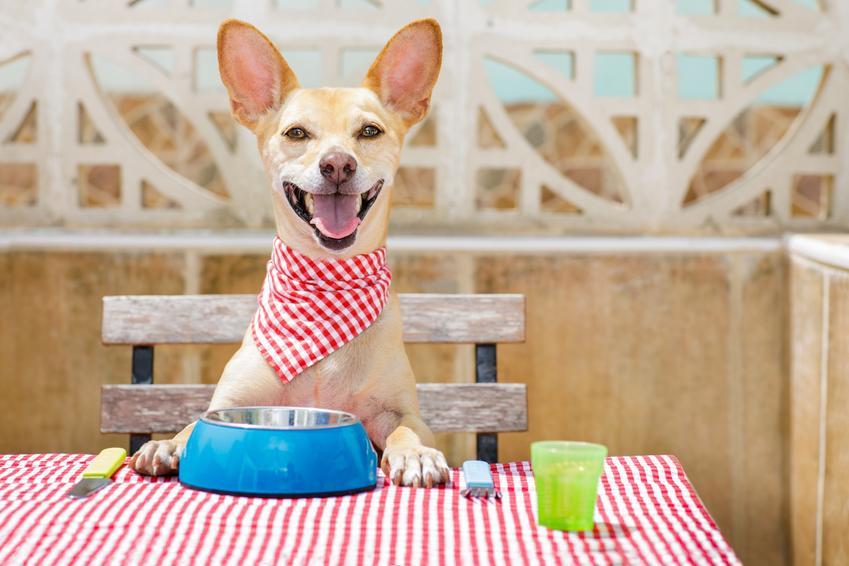 Uśmiechnięty pies siedzący za stołem, a także dieta barf dla psa krok po kroku i żywienie