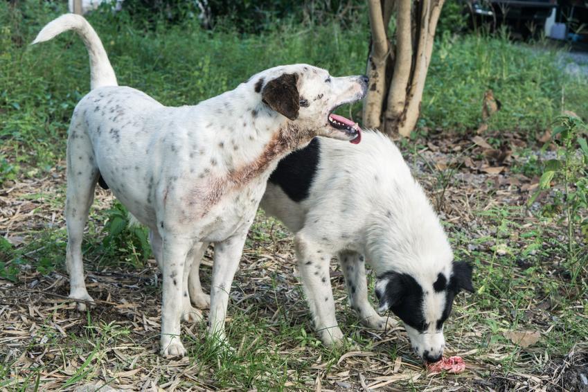 Dwa psy podczas zabawy, a także pierwsza cieczka u psa i jej objawy