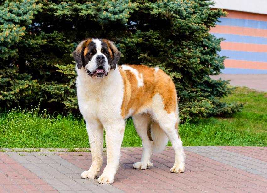 Pies moskiewski stróżujący na podwórku przed domem, a także jego charakter i cena