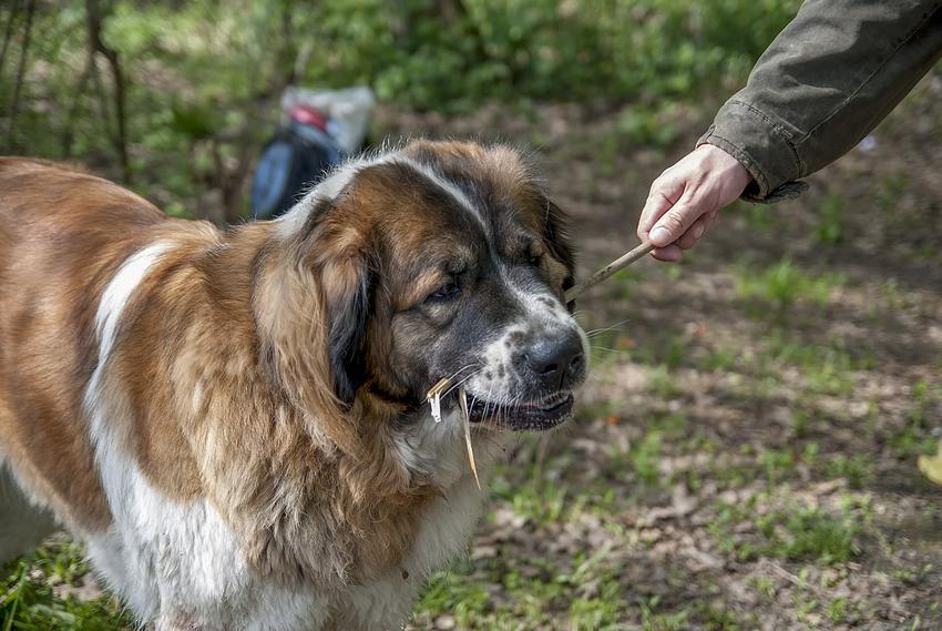 Pies moskiewski stróżujący podczas spaceru, a tajże jego cena i hodowla