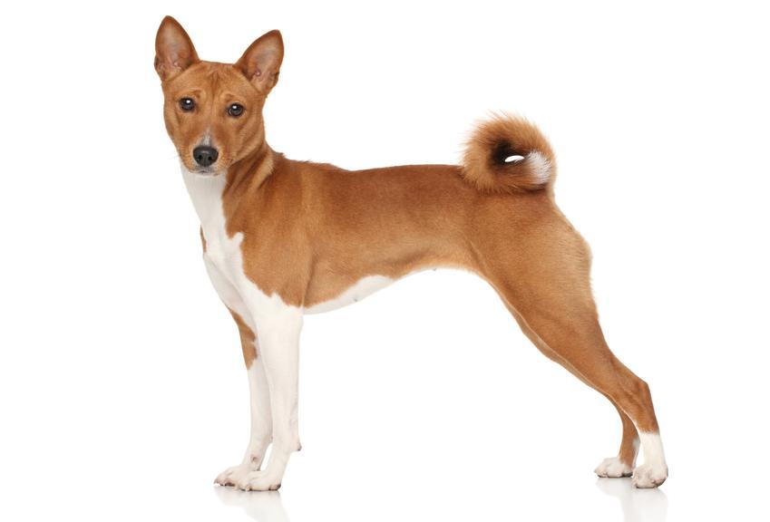 Pies rasy basenji na białym tle, a także cena basenji, jego charakter i hodowla