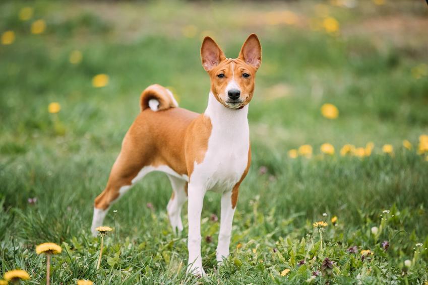 Pies rasy basenji na trawniku, a także cena basenji, jego charakter i hodowla