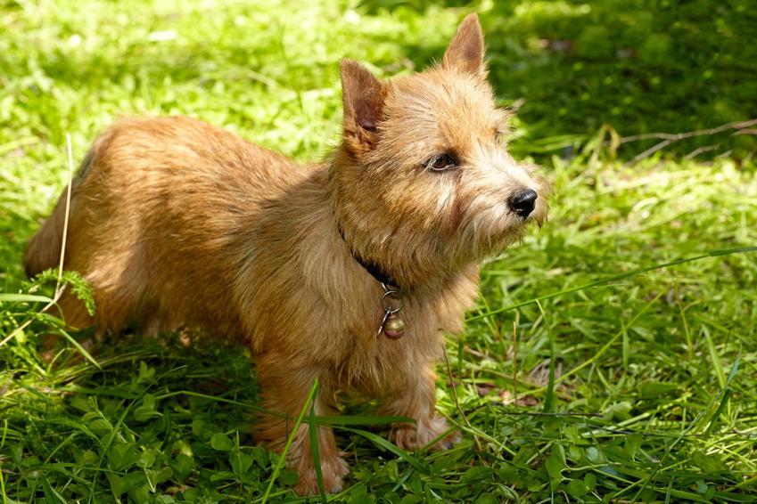 Pies rasy norwich terrier na tle zieleni, a także opis rasy i charakter psa