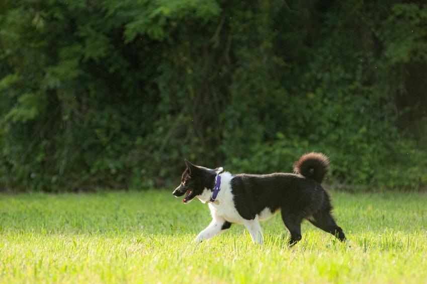 Pies rasy karelski pies na niedźwiedzie na tle zieleni, a także jego charakter i hodowla