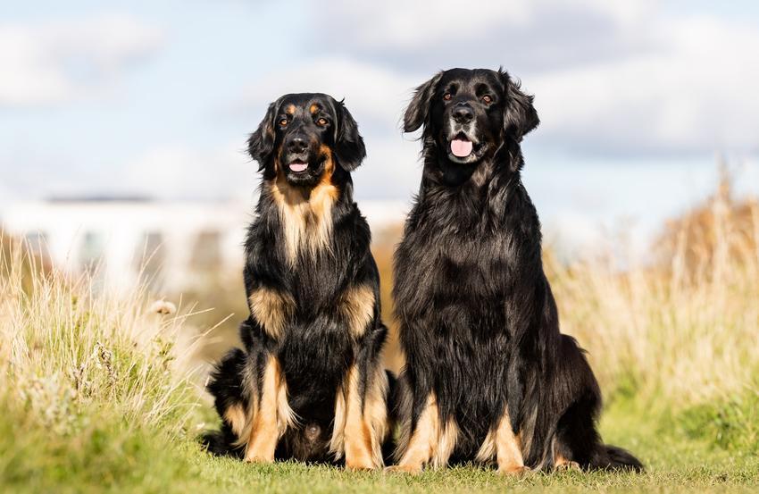 Dwa psy rasy hovawart na łonie natury, a także ich charakter i hodowla
